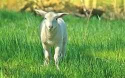 lamb or sheep baa